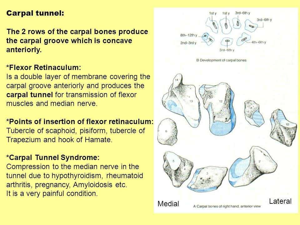 Carpal tunnel:The 2 rows of the carpal bones produce. the carpal groove which is concave. anteriorly.