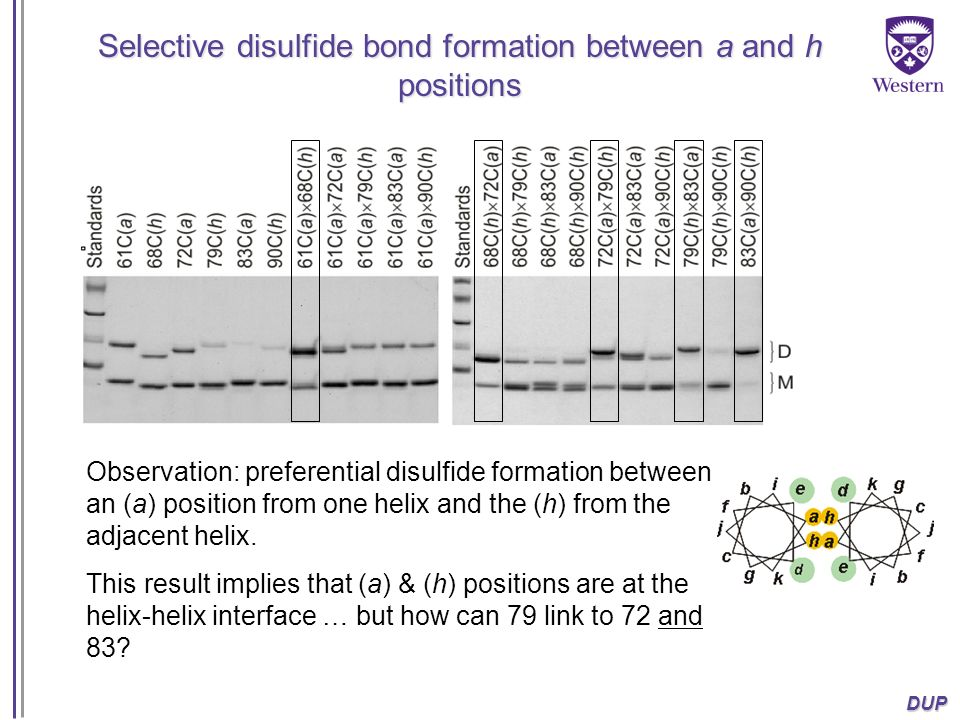 Selective disulfide bond formation between a and h positions