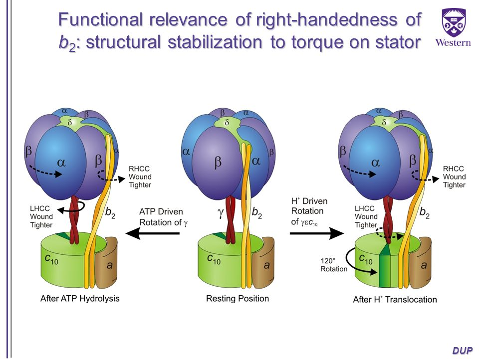 Functional relevance of right-handedness of b2: structural stabilization to torque on stator