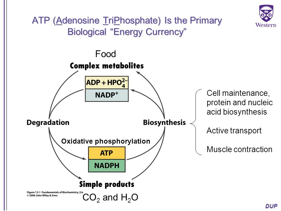 ATP (Adenosine TriPhosphate) Is the Primary Biological Energy Currency