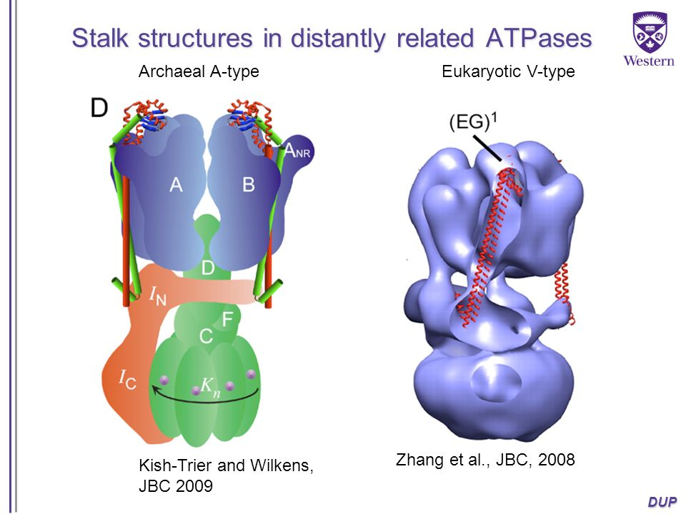 Stalk structures in distantly related ATPases
