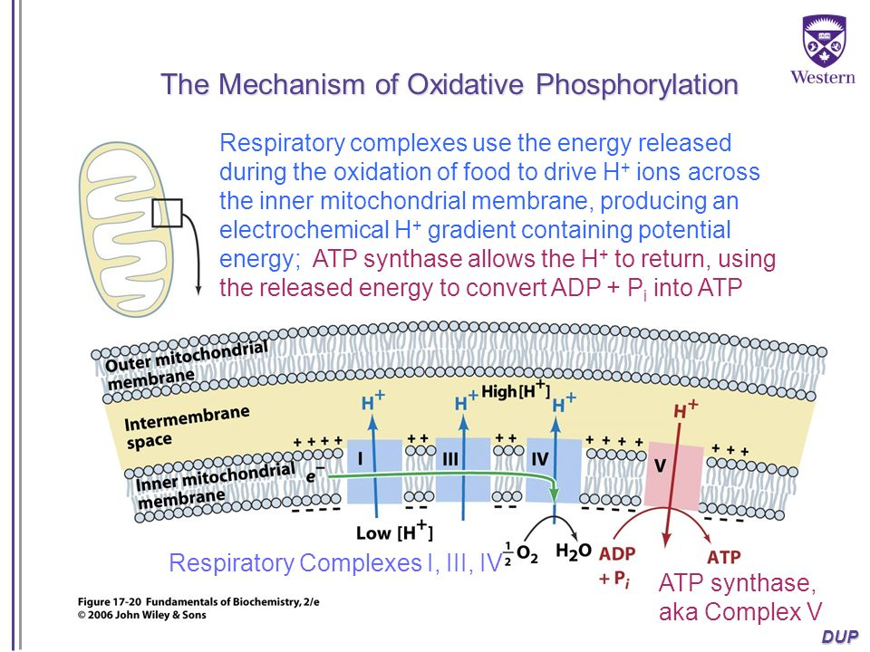 The Mechanism of Oxidative Phosphorylation