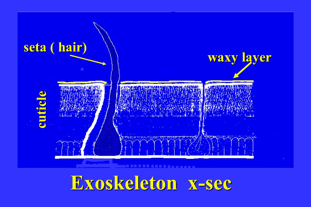 seta ( hair) waxy layer cuticle Exoskeleton x-sec