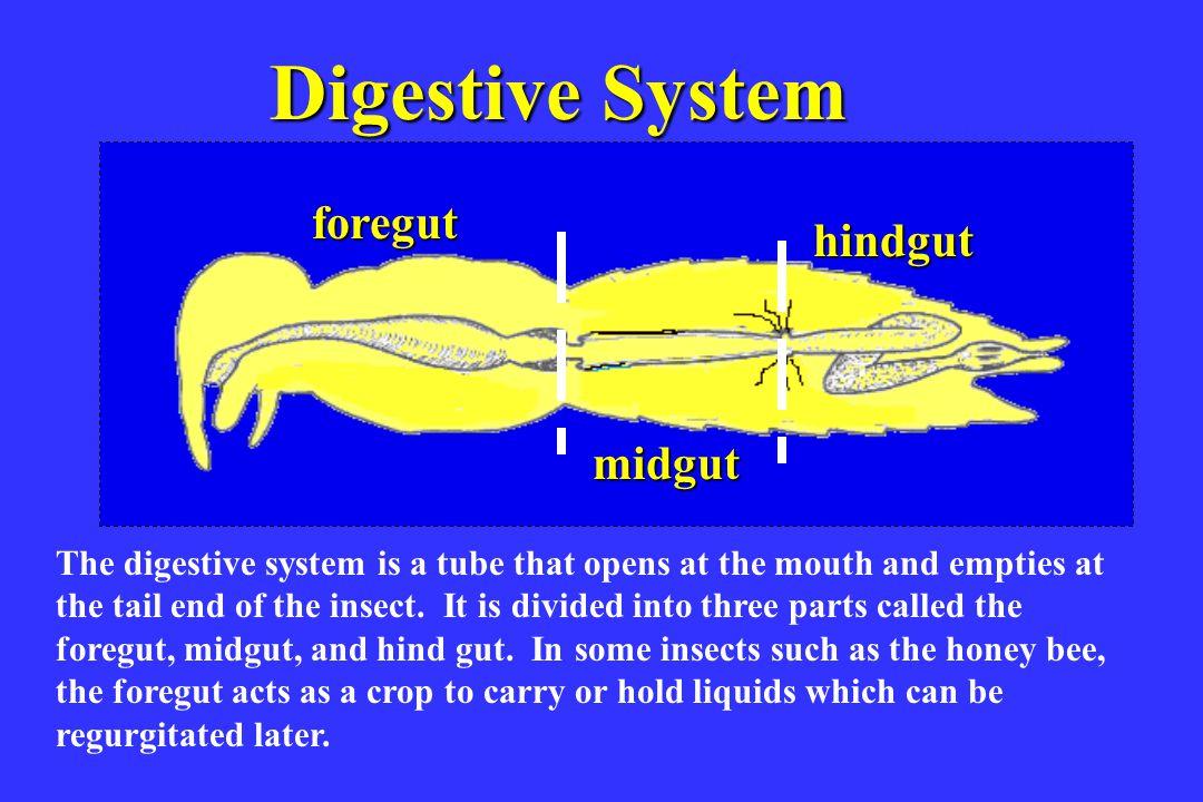 Digestive System foregut hindgut Digestive sys midgut