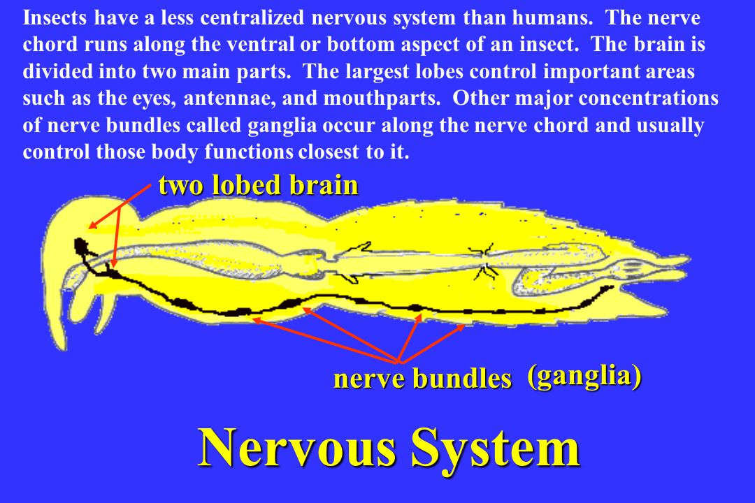 Nervous System two lobed brain Nervous system (ganglia) nerve bundles