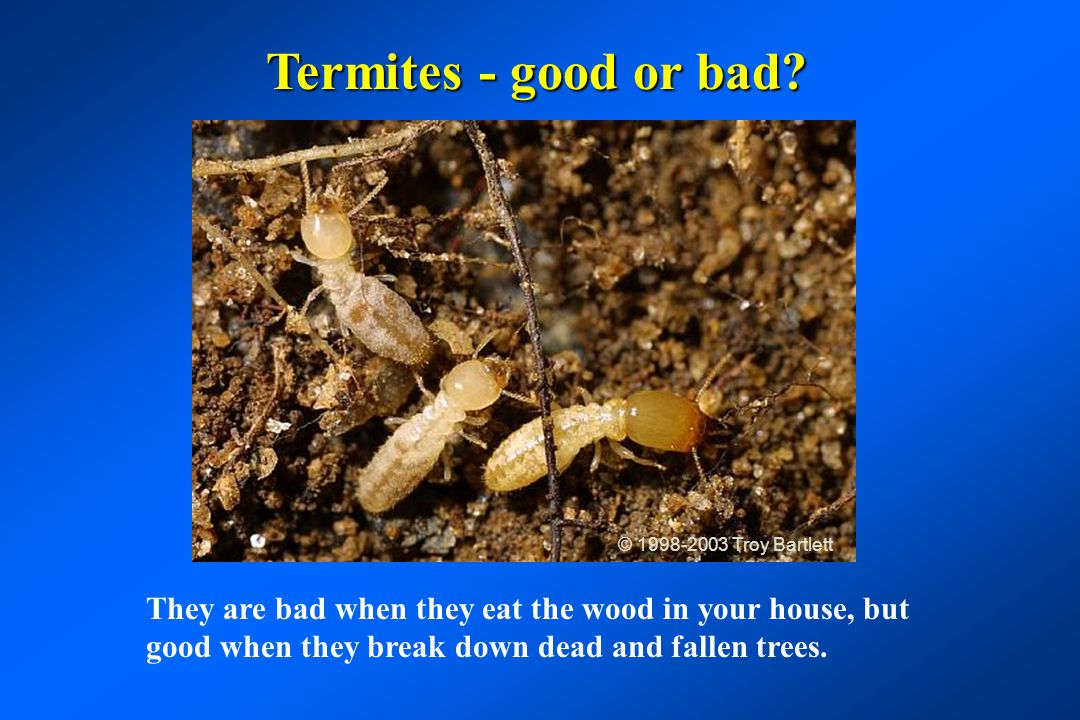 Termites - good or bad © 1998-2003 Troy Bartlett.