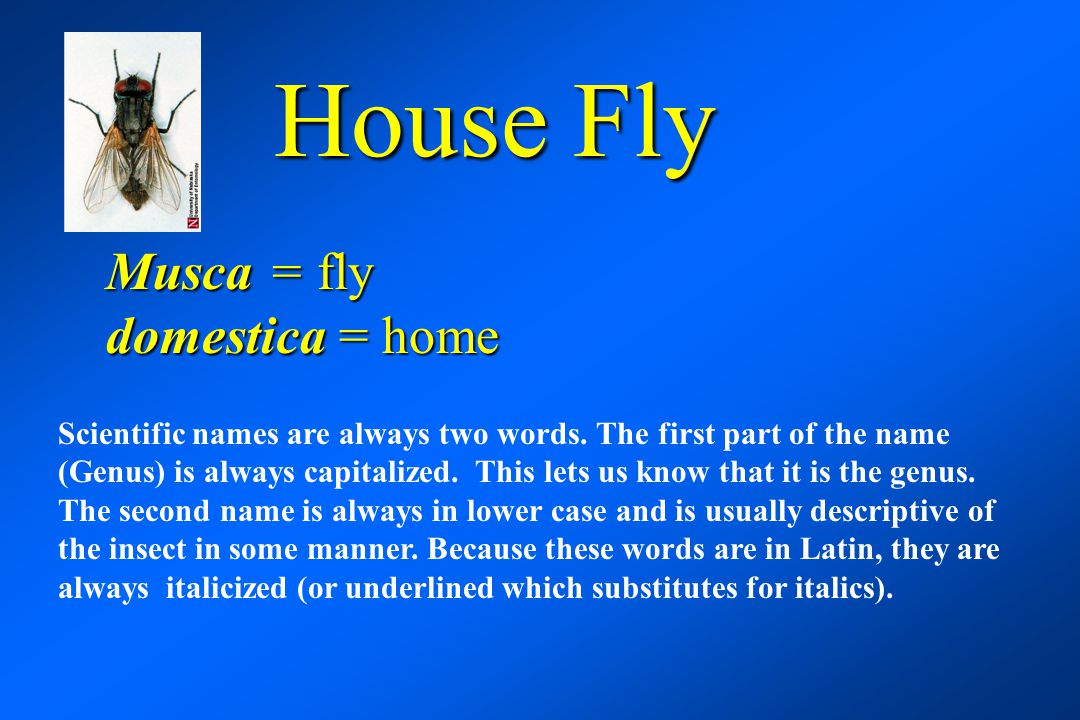 House Fly Musca = fly domestica = home