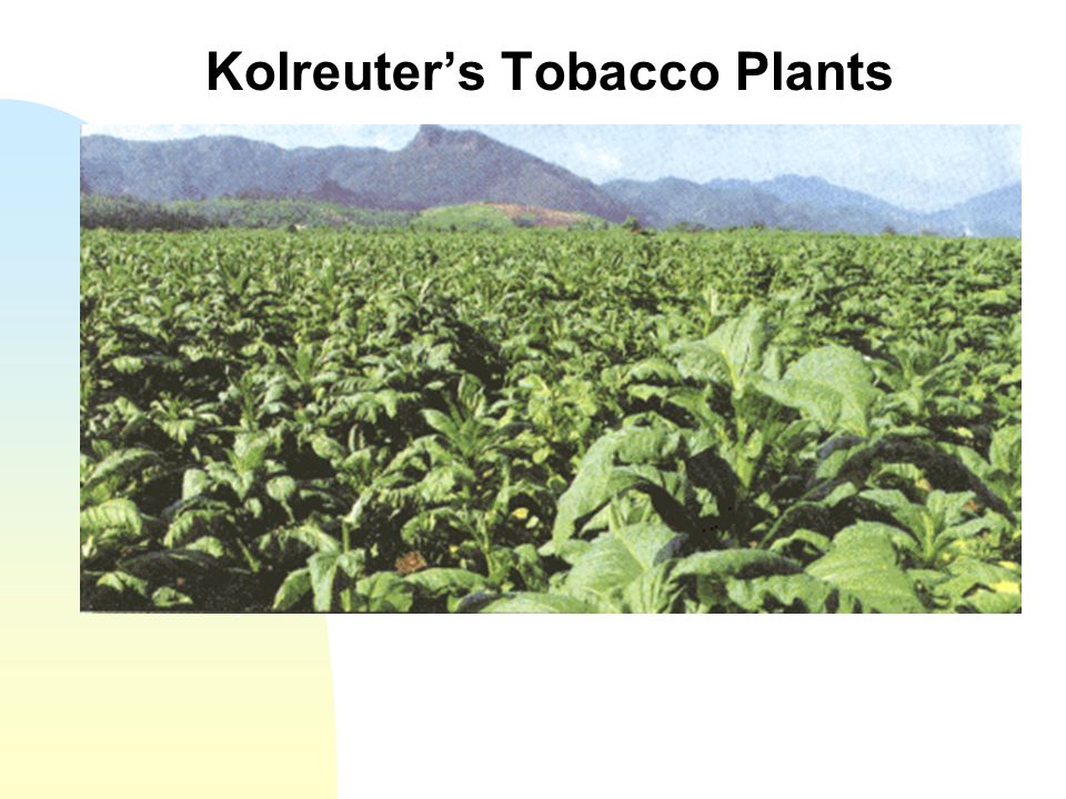 Kolreuter's Tobacco Plants