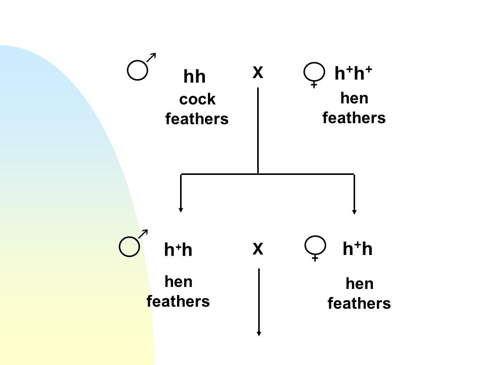 h+h+ hh h+h h+h X cock feathers hen feathers X hen feathers