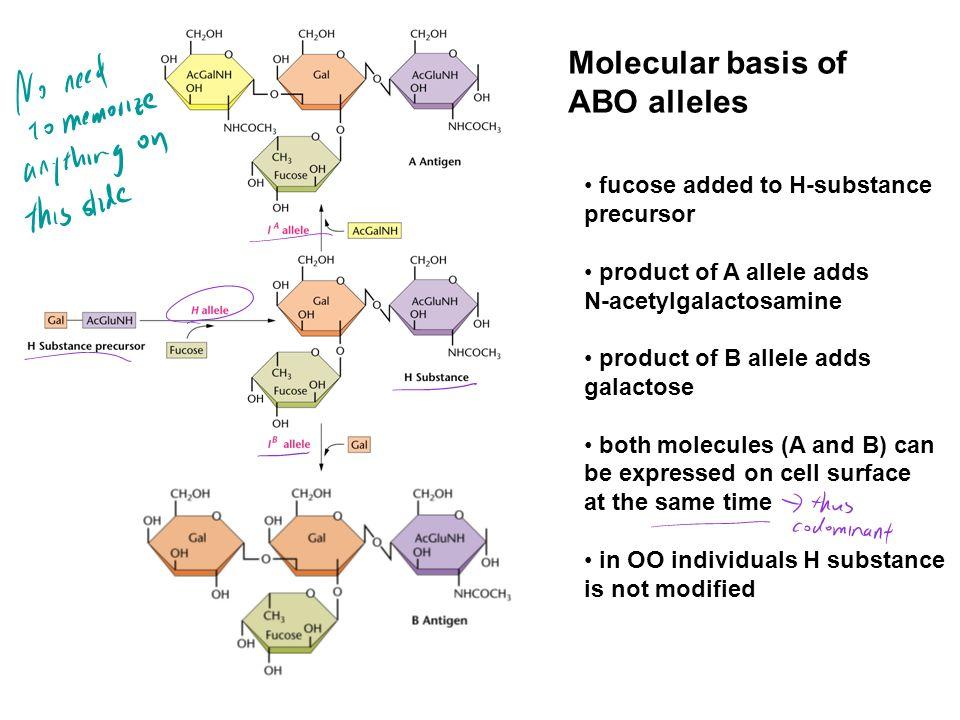 Molecular basis of ABO alleles fucose added to H-substance precursor
