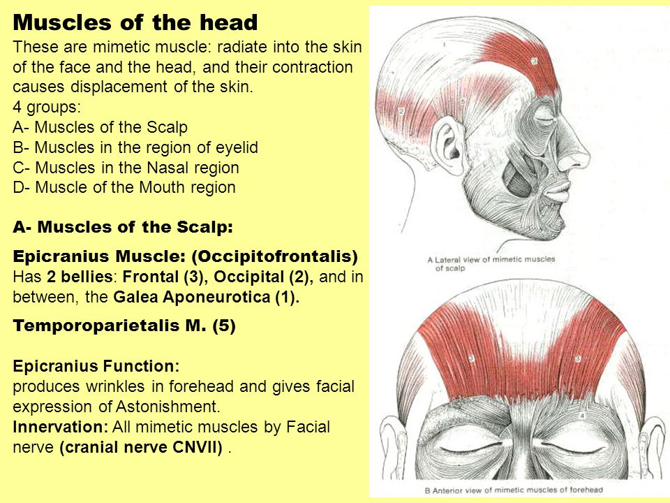 Muscles of the head These are mimetic muscle: radiate into the skin