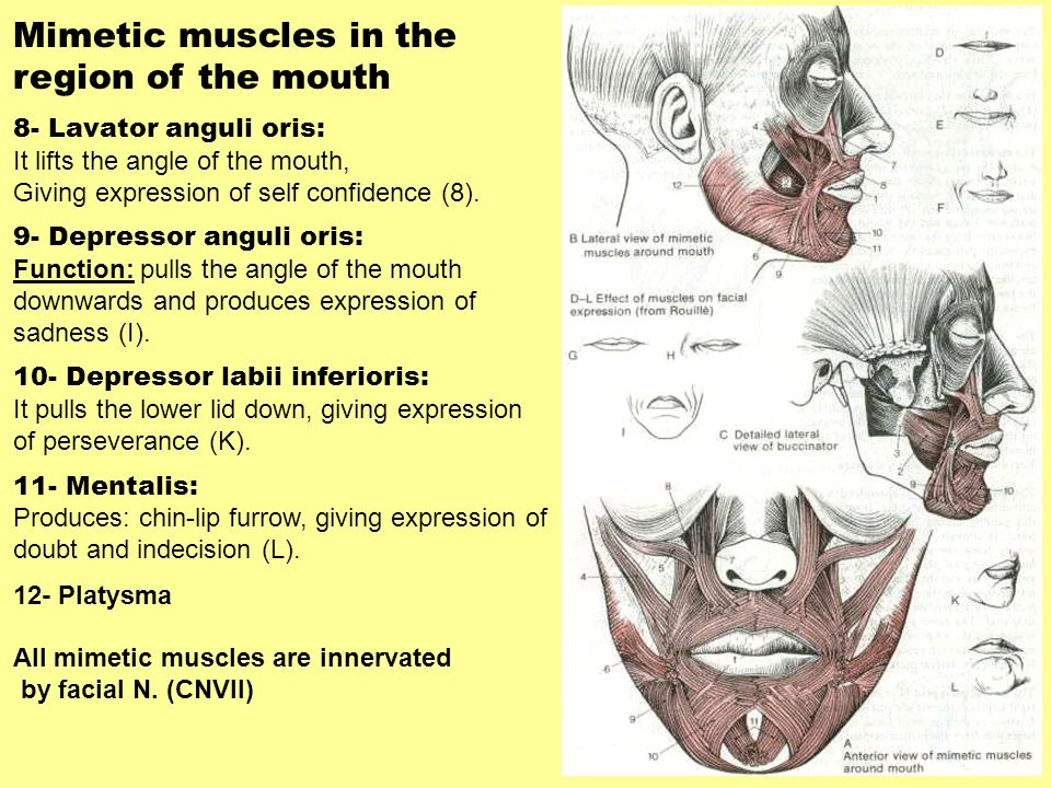 Mimetic muscles in the region of the mouth 8- Lavator anguli oris: