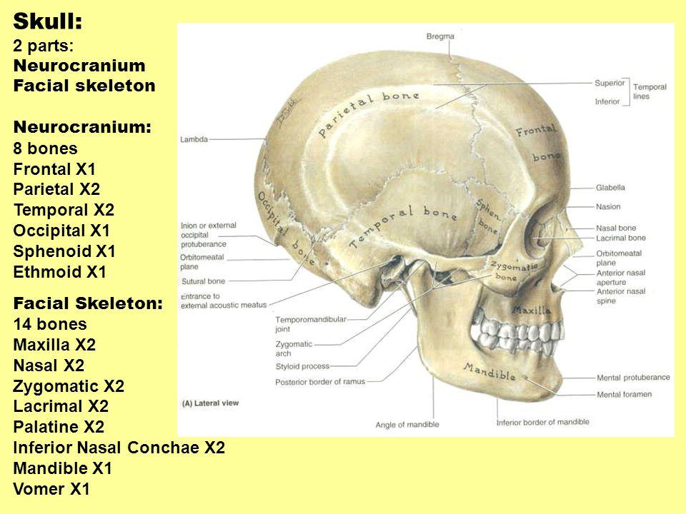 Skull: 2 parts: Neurocranium Facial skeleton Neurocranium: 8 bones