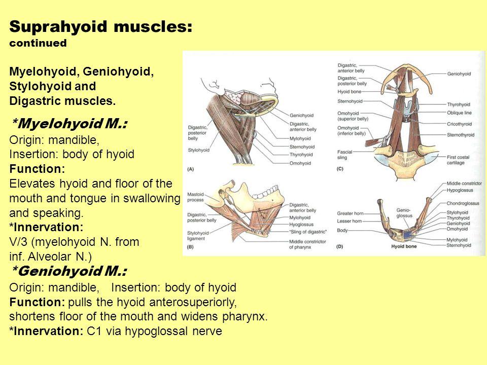 Suprahyoid muscles: *Myelohyoid M.: *Geniohyoid M.: