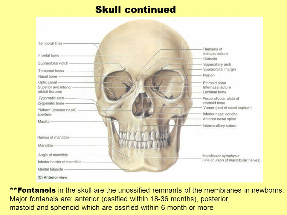Skull continued **Fontanels in the skull are the unossified remnants of the membranes in newborns.