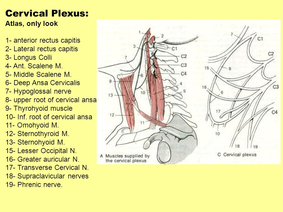 Cervical Plexus: Atlas, only look 1- anterior rectus capitis
