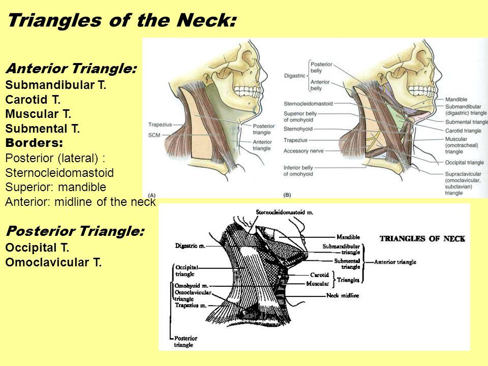 Triangles of the Neck: Anterior Triangle: Posterior Triangle:
