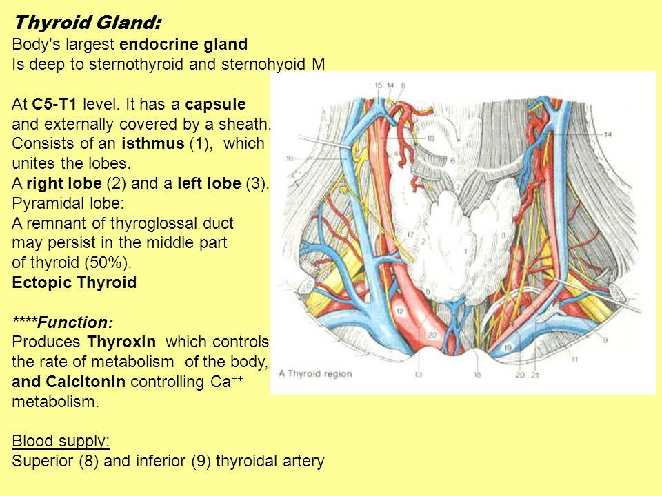 Thyroid Gland: Body s largest endocrine gland