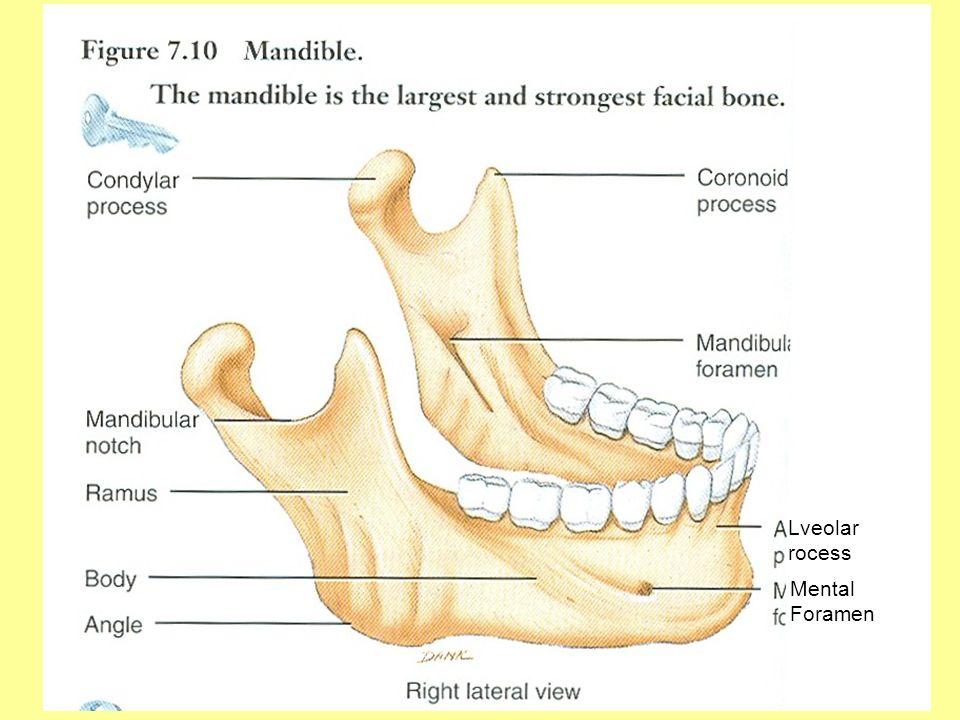 Lveolar rocess Mental Foramen