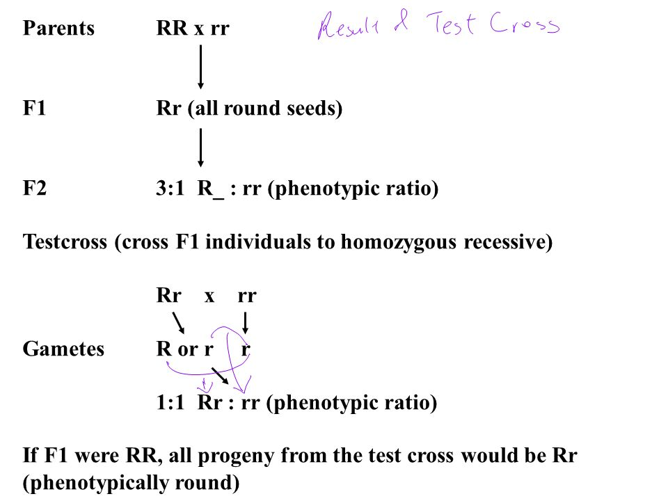 Parents RR x rr F1 Rr (all round seeds) F2 3:1 R_ : rr (phenotypic ratio) Testcross (cross F1 individuals to homozygous recessive)