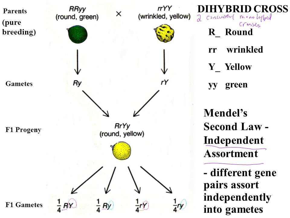 Mendel's Second Law - Independent Assortment
