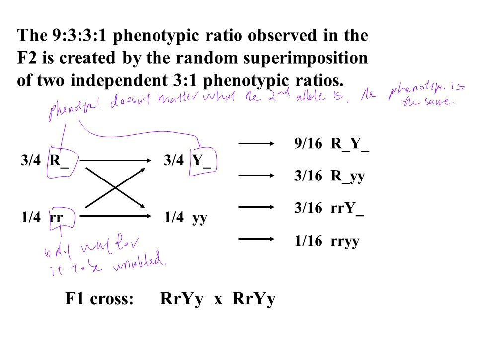 The 9:3:3:1 phenotypic ratio observed in the