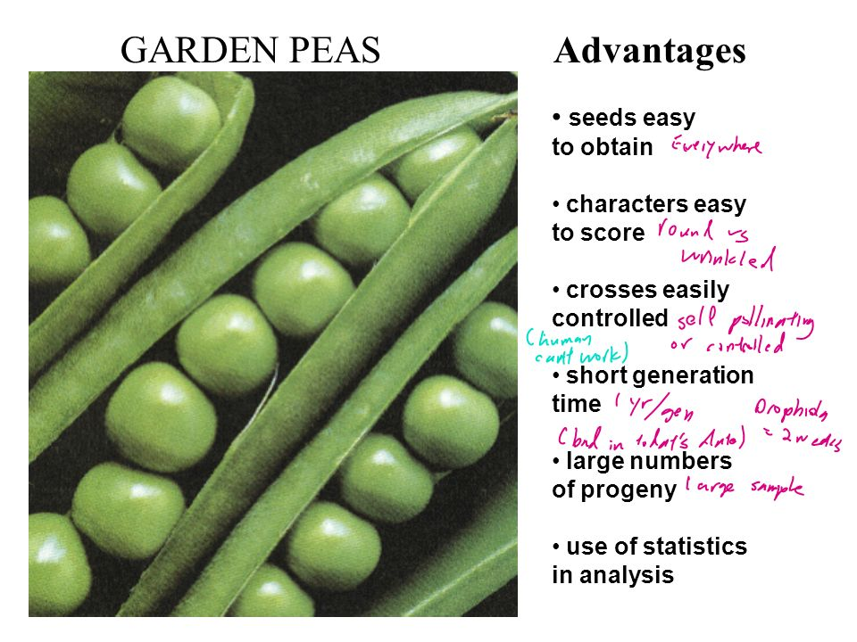 GARDEN PEAS Advantages