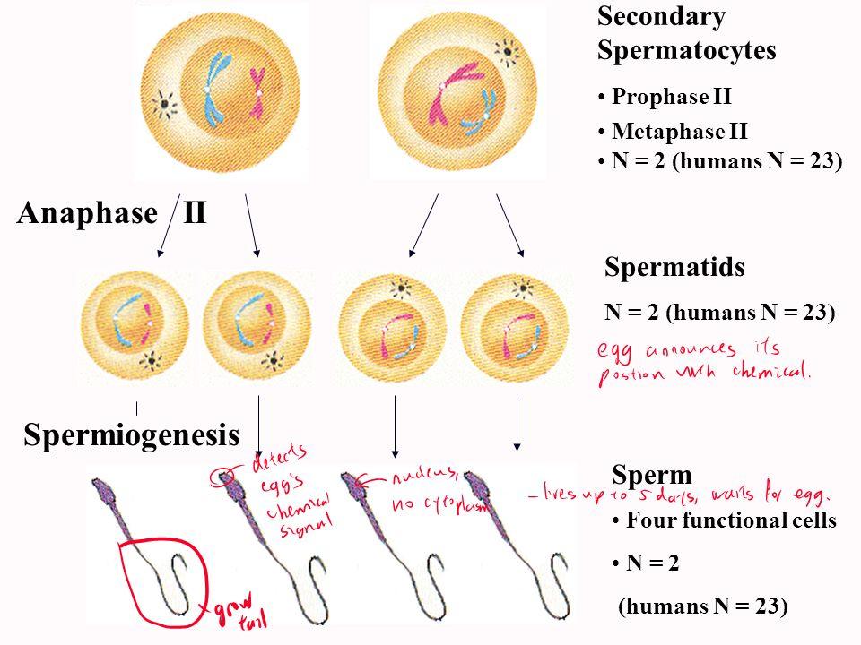 Anaphase II Spermiogenesis Secondary Spermatocytes Spermatids Sperm