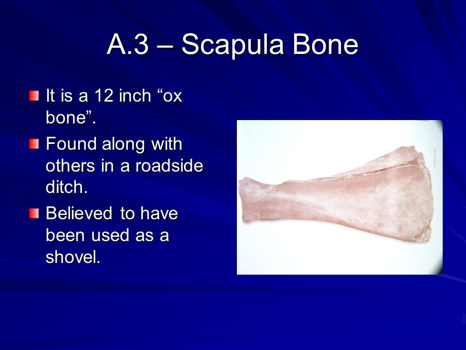 A.3 – Scapula Bone It is a 12 inch ox bone .