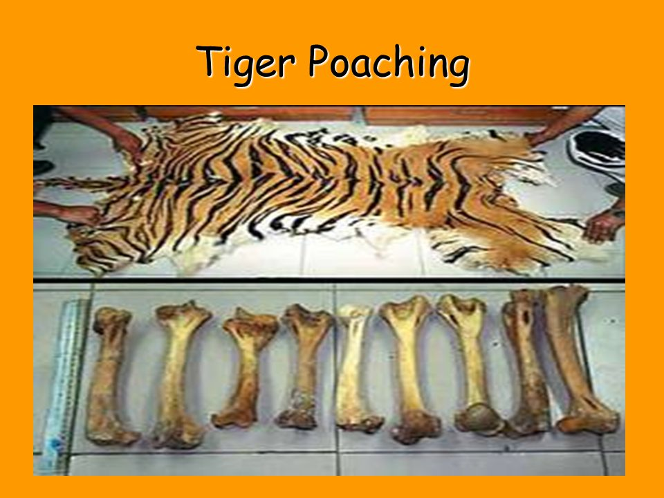 Tiger Poaching 13