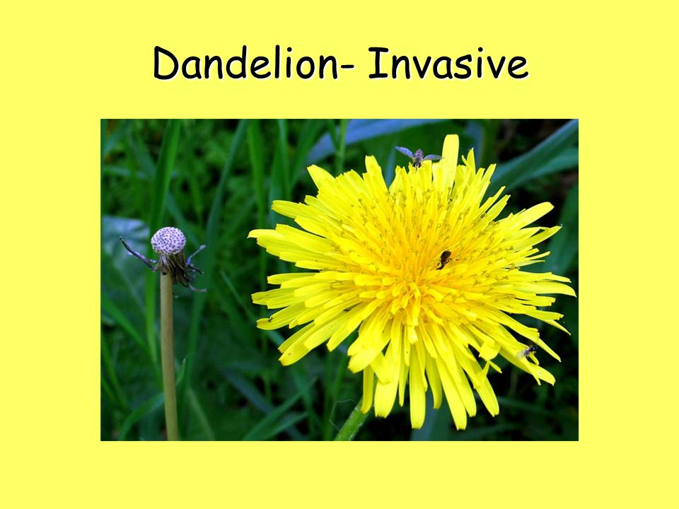 Dandelion- Invasive 15
