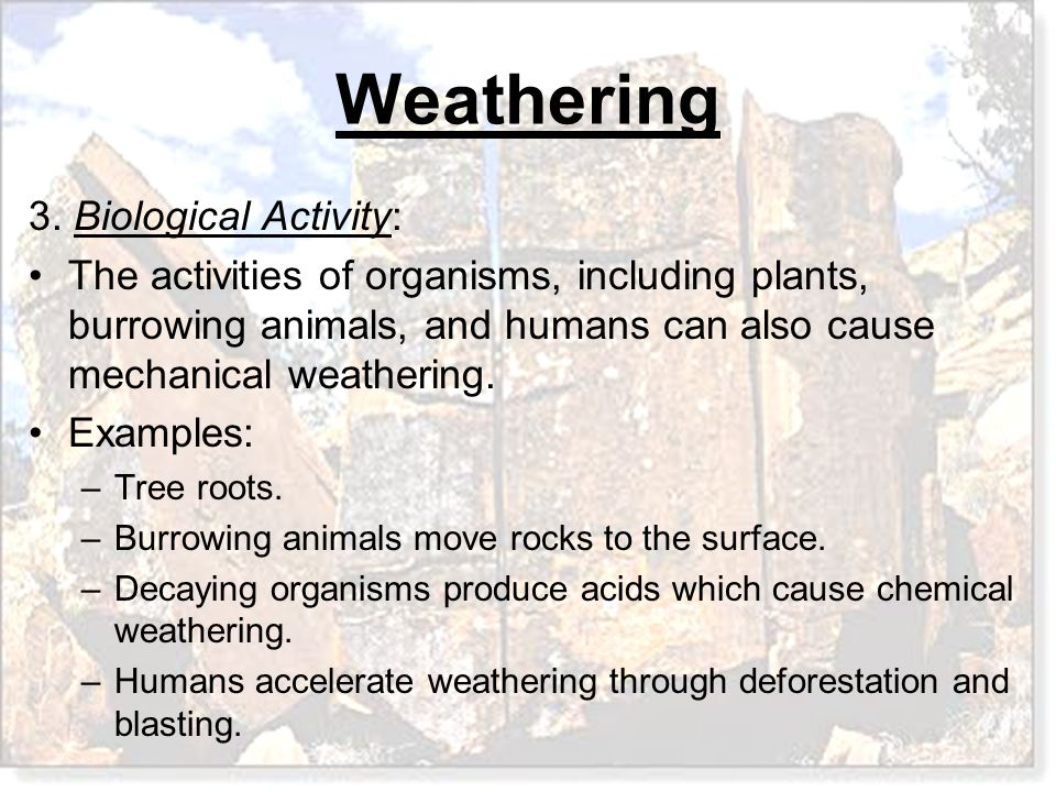 3. Biological Activity: The activities of organisms, including plants, burrowing animals, and humans can also cause mechanical weathering.