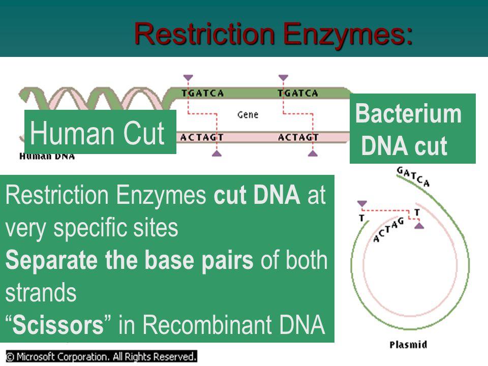Human Cut Restriction Enzymes: Bacterium DNA cut