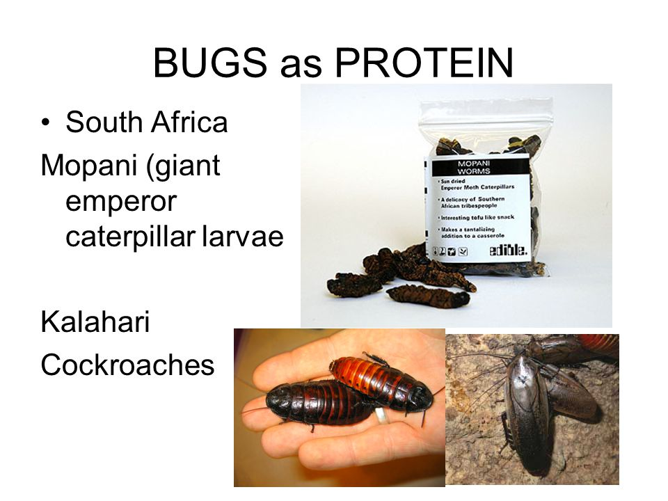 BUGS as PROTEIN South Africa Mopani (giant emperor caterpillar larvae