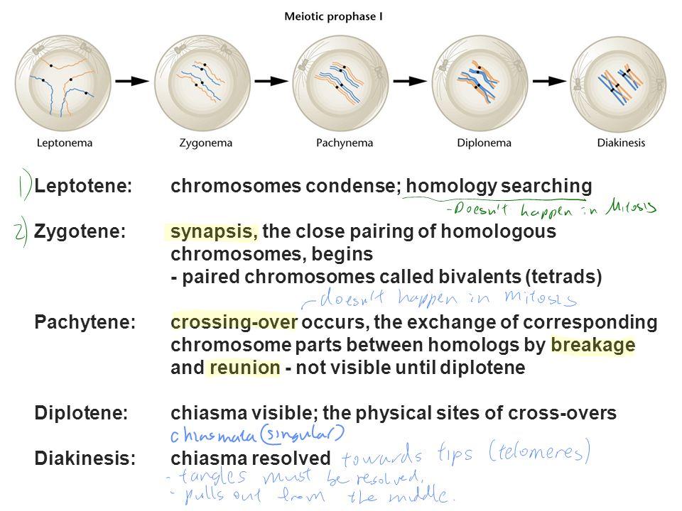 Leptotene: chromosomes condense; homology searching