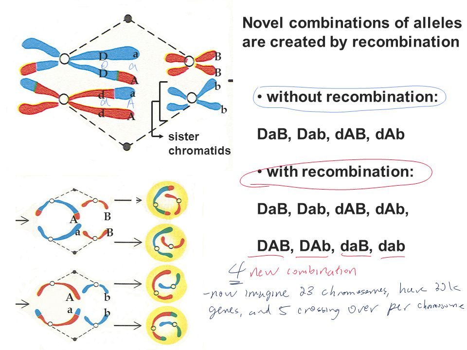 Novel combinations of alleles are created by recombination