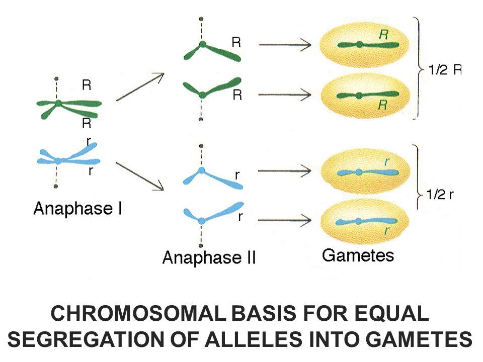 CHROMOSOMAL BASIS FOR EQUAL SEGREGATION OF ALLELES INTO GAMETES