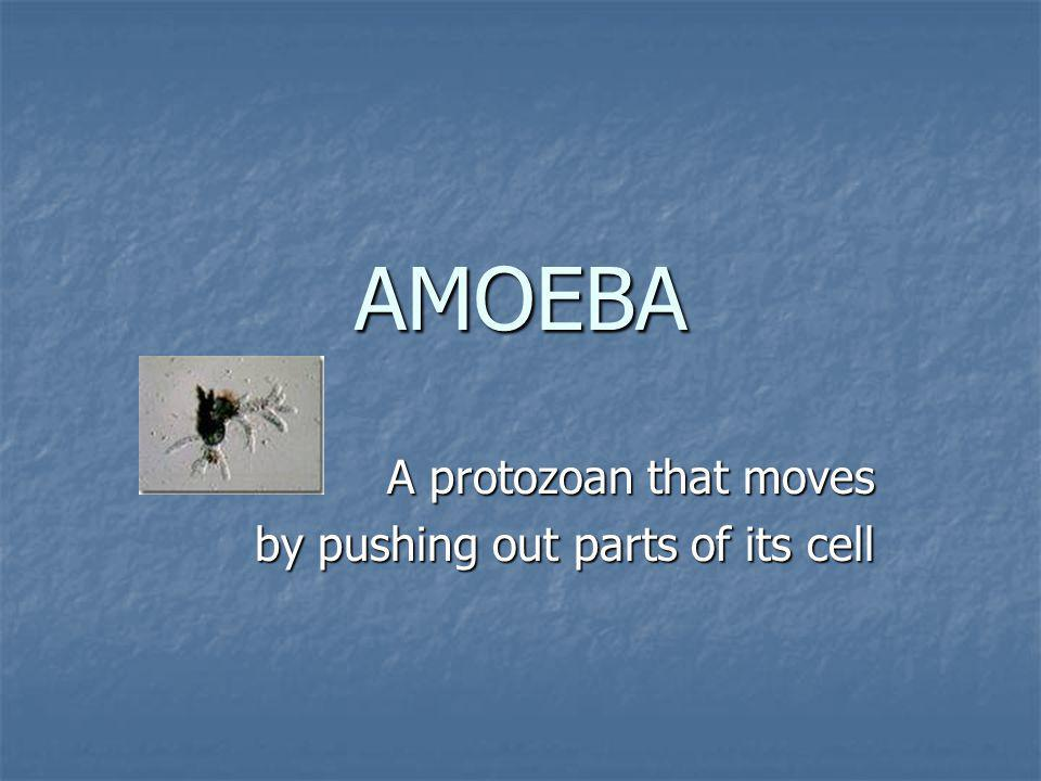 A protozoan that moves by pushing out parts of its cell