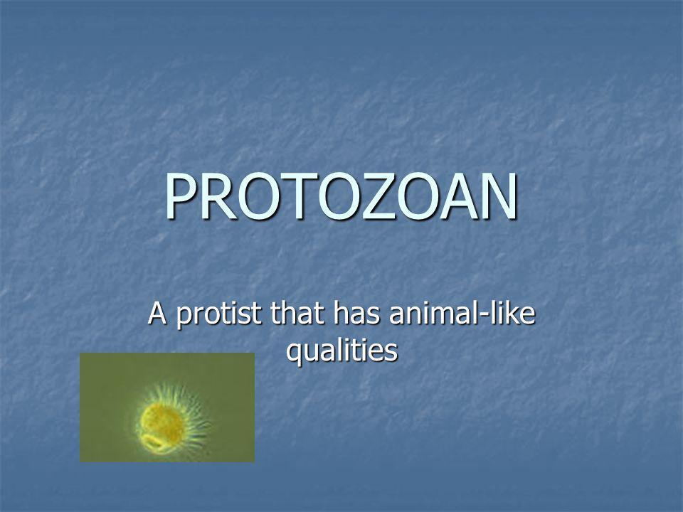 A protist that has animal-like qualities