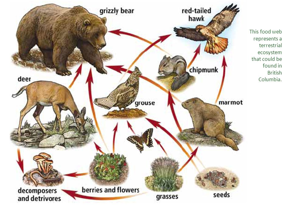 This food web represents a terrestrial ecosystem that could be found in British Columbia.