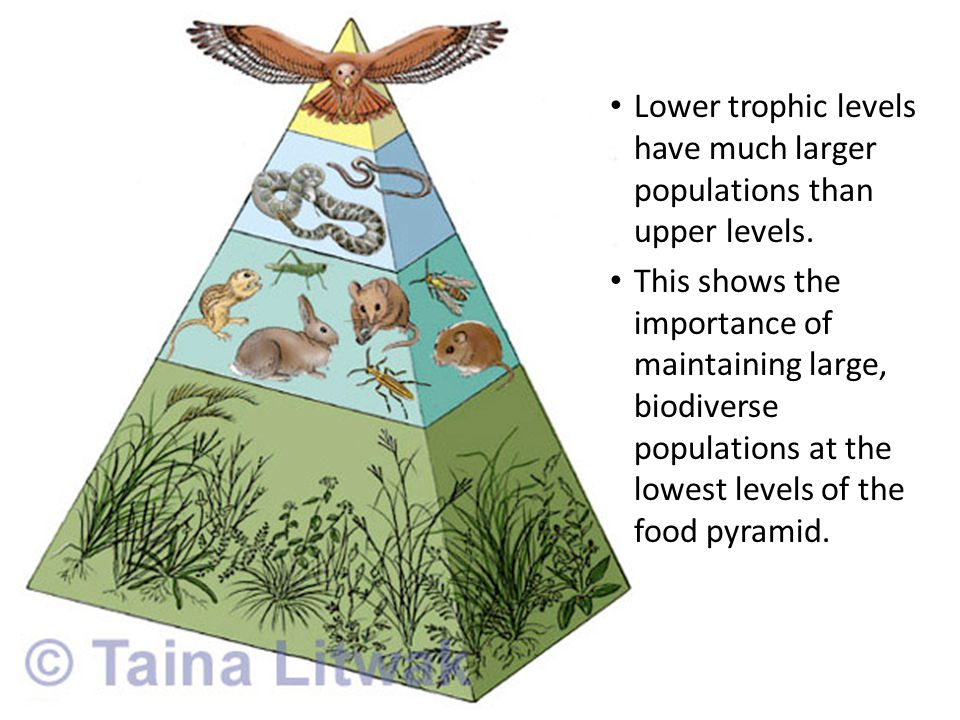 Lower trophic levels have much larger populations than upper levels.