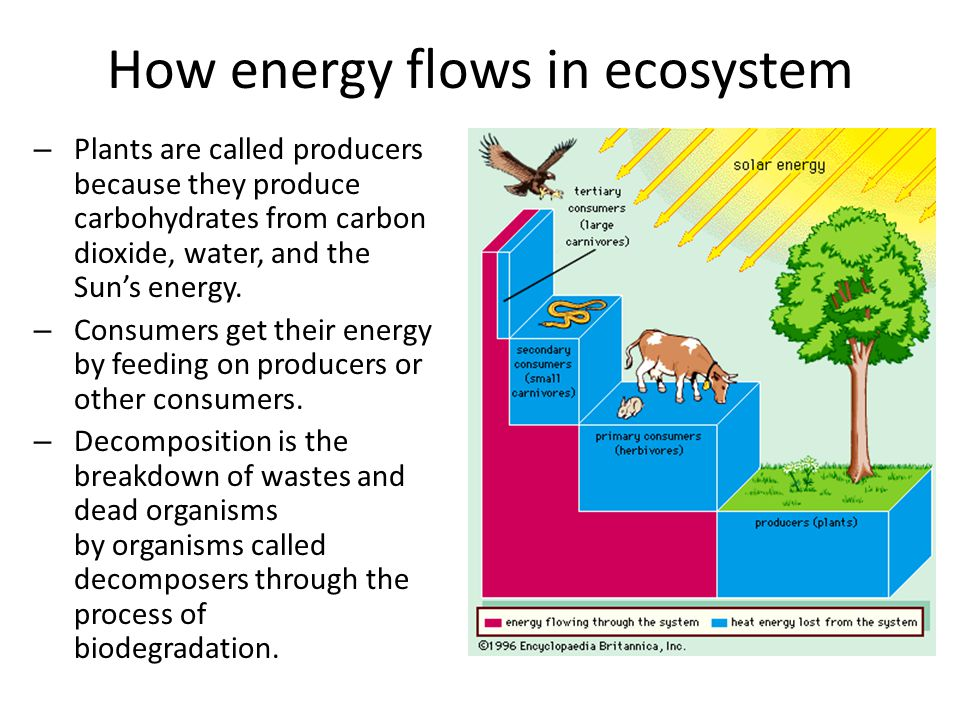 How energy flows in ecosystem