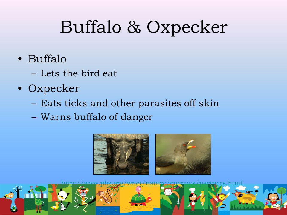 Buffalo & Oxpecker Buffalo Oxpecker Lets the bird eat