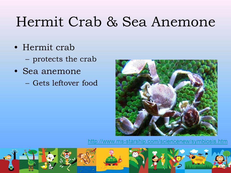 Hermit Crab & Sea Anemone