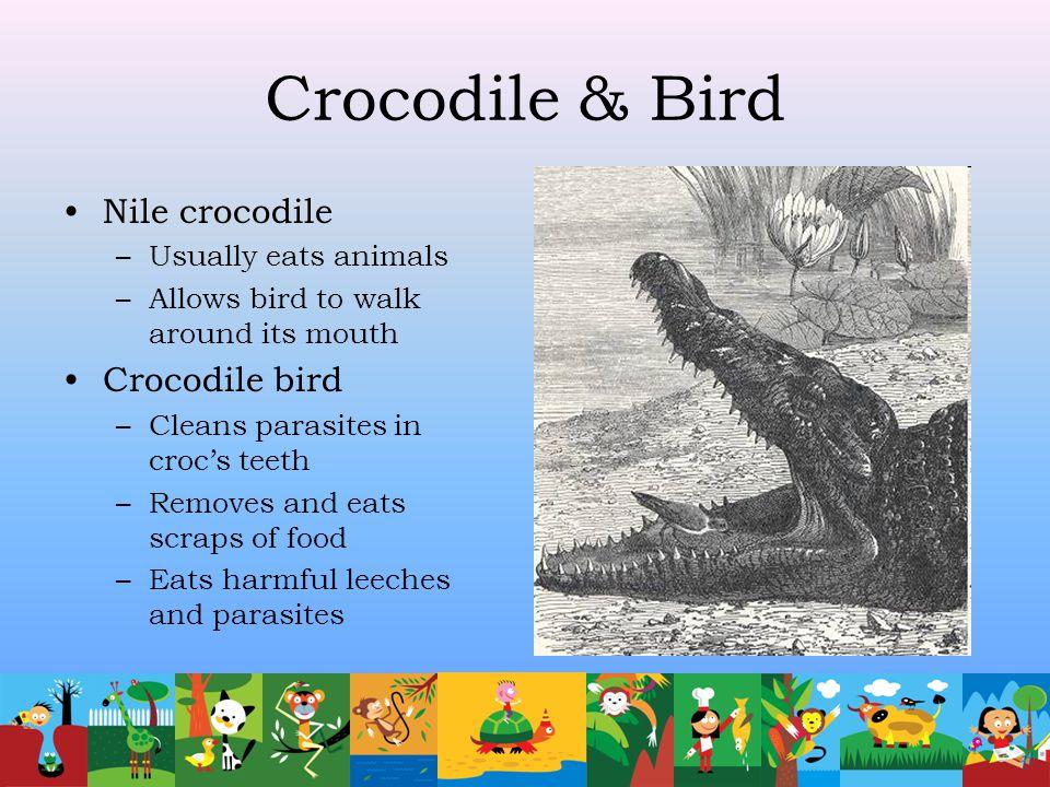 Crocodile & Bird Nile crocodile Crocodile bird Usually eats animals