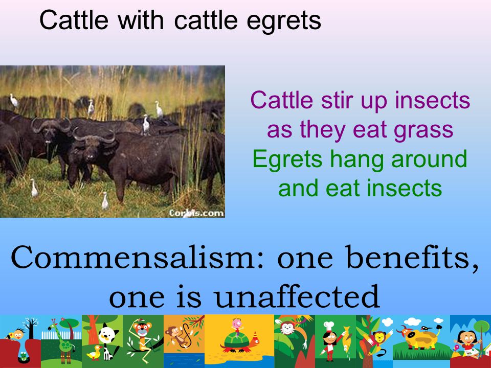 Commensalism: one benefits, one is unaffected