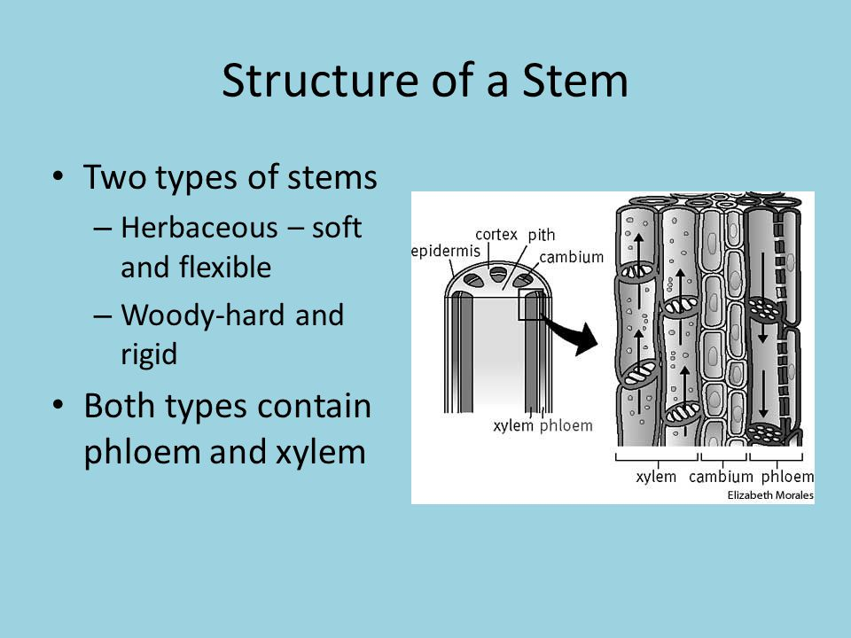 Structure of a Stem Two types of stems