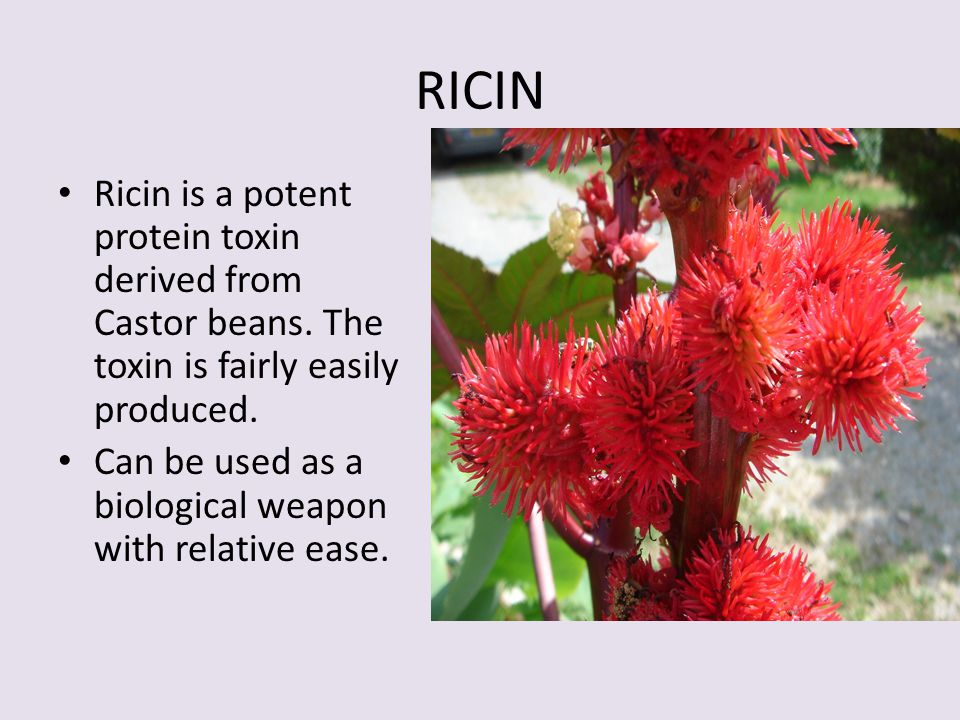 RICIN Ricin is a potent protein toxin derived from Castor beans. The toxin is fairly easily produced.