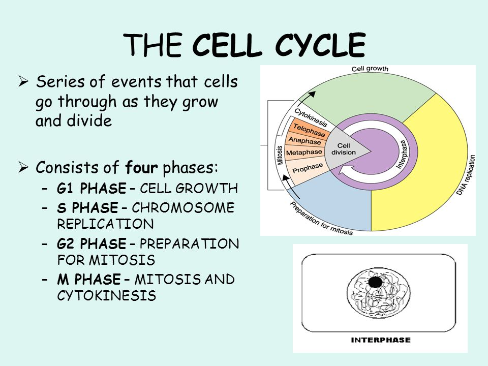 THE CELL CYCLE Series of events that cells go through as they grow and divide. Consists of four phases: