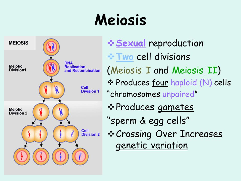 Meiosis Sexual reproduction Two cell divisions